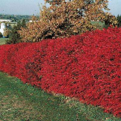 Burning Bush (Euonymus) Hedge Kit Live Deciduous Plant White Flowers with Green Foliage Turns Red in Fall (5-Pack)
