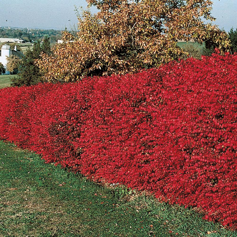 Spring Hill Nurseries 2.5 qt. Burning Bush (Euonymus), Live Deciduous  Plant, White Flowers with Green Foliage that turns Red in Fall (1,Pack)