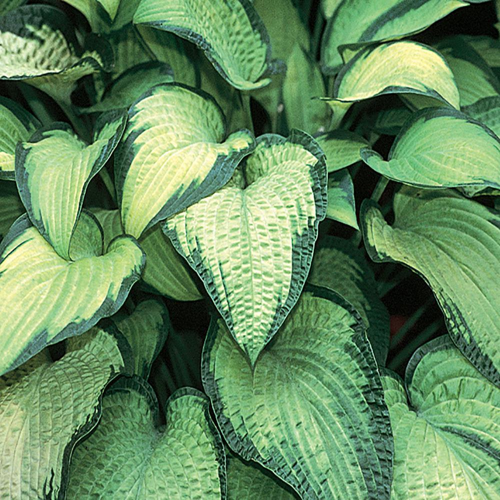 2.5 Qt. Paul's Glory Variegated Hosta Plant