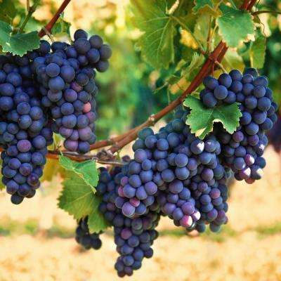 1  Gal. Concord Grape (Vitis), Live Fruiting Vine, Purple Fruit Clusters (1-Pack)