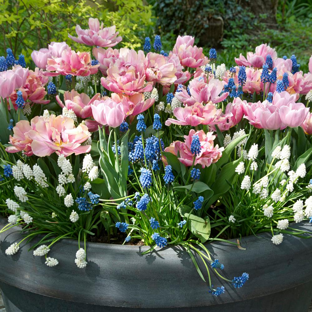 Awesome Van Zyverden Spring Bulb Garden (Set Of 50)