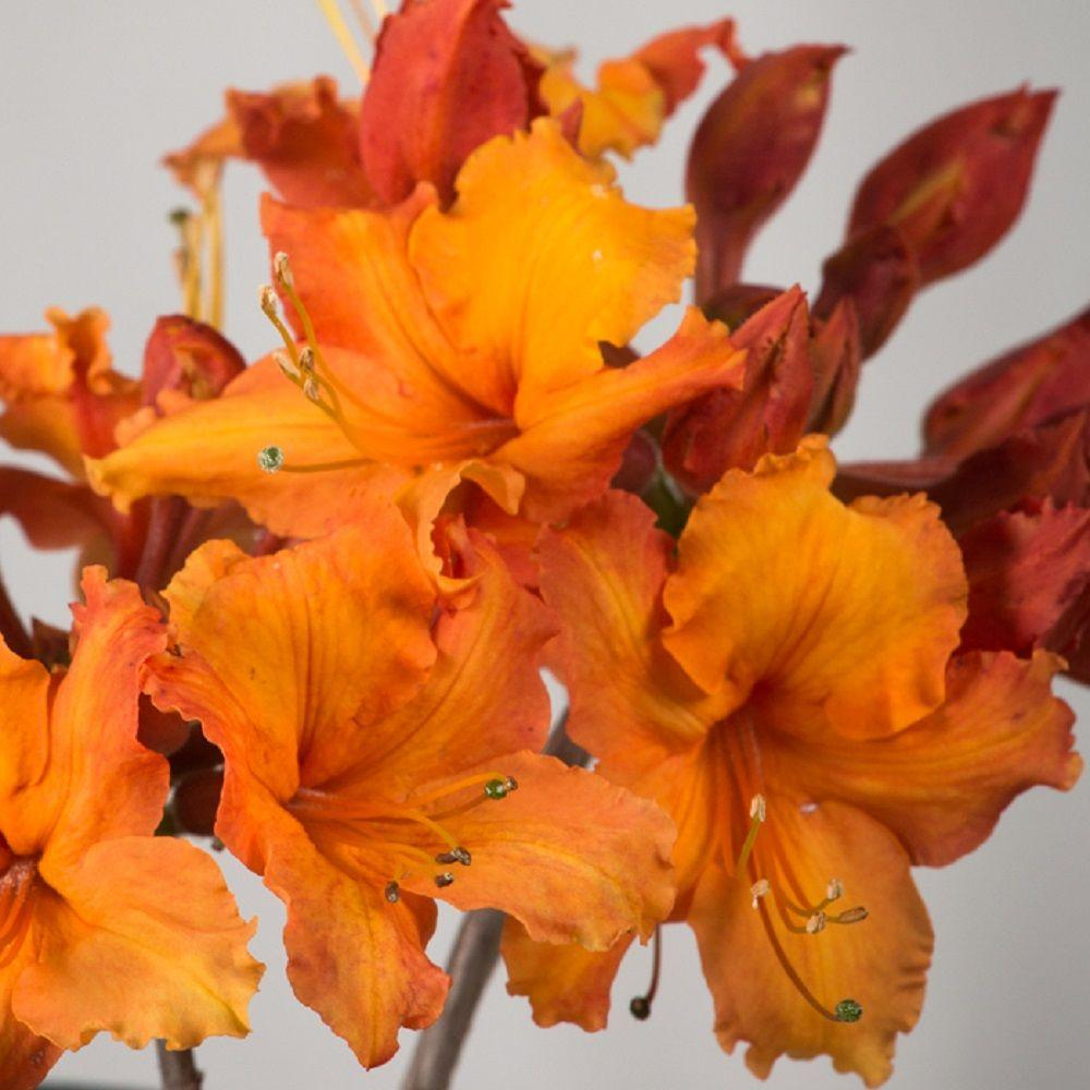 Southern Living Plant Collection 2.5 Qt. Sunbow Azalea Solar Glow - Deciduous Shrub with Orange-red Blooms