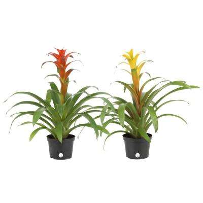 Bromeliad Grower's Choice Colors in 6 in. Grower Pot 2-Pack