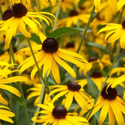 4.5 in. Quart Goldsturm Rudbeckia (Black-Eyed Susan) Live Native Perennial Plant with Golden Yellow Flowers