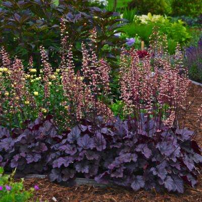Purple Foliage Perennial Grape Expectations Coral Bells (Heuchera) Live Deciduous Plant with 2 in. Pot