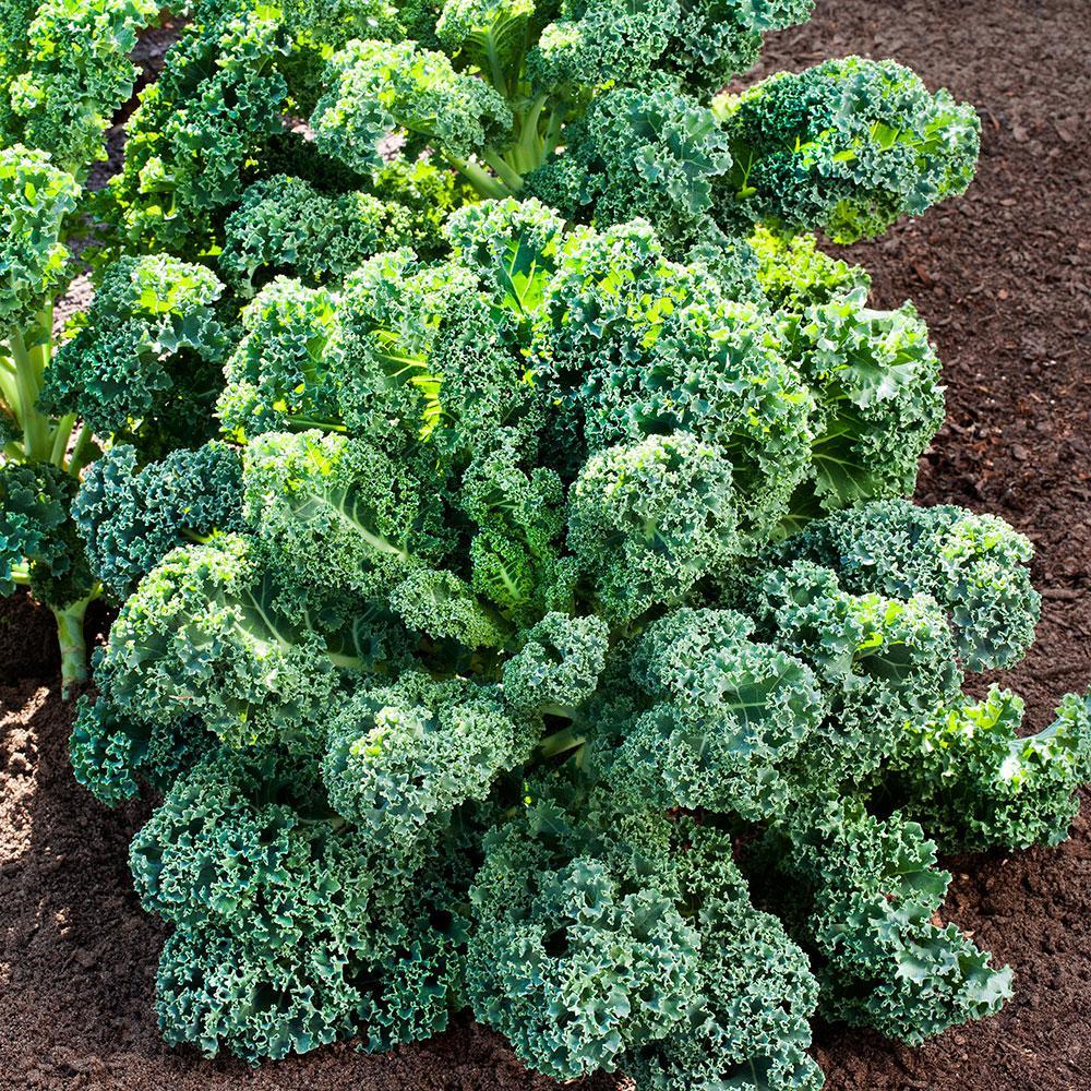Bonnie Plants 6pk Kale Curly 0090 The Home Depot