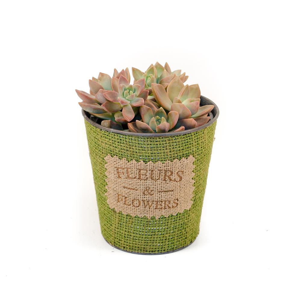 nobby design flowering succulent house plant identification. Living Quart Succulent in Tin and Burlap Drop In Flowering Succulents  Cactus Plants Garden The Best 100 Fetching Images Of House Image