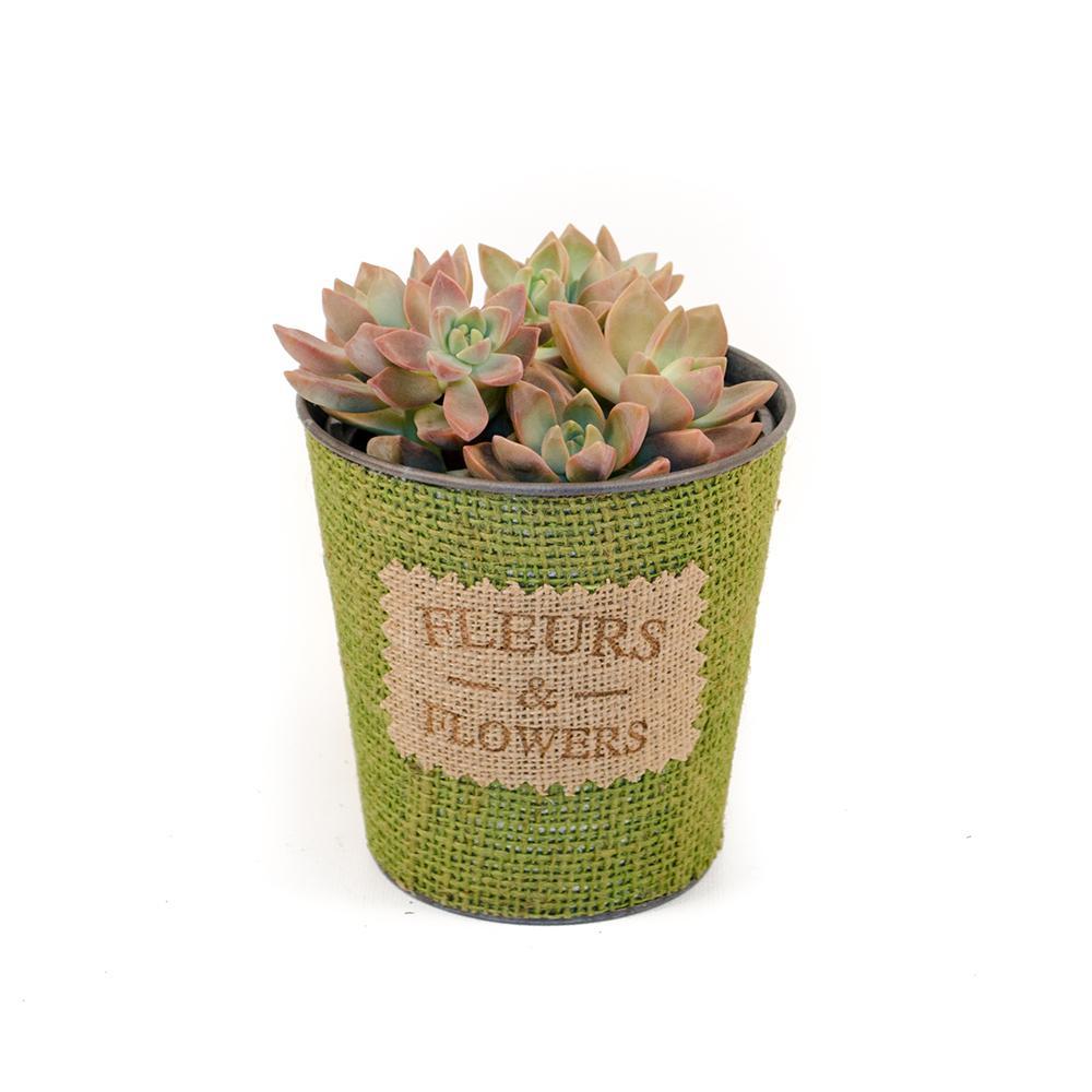 Living Quart Succulent in Tin and Burlap Drop-In