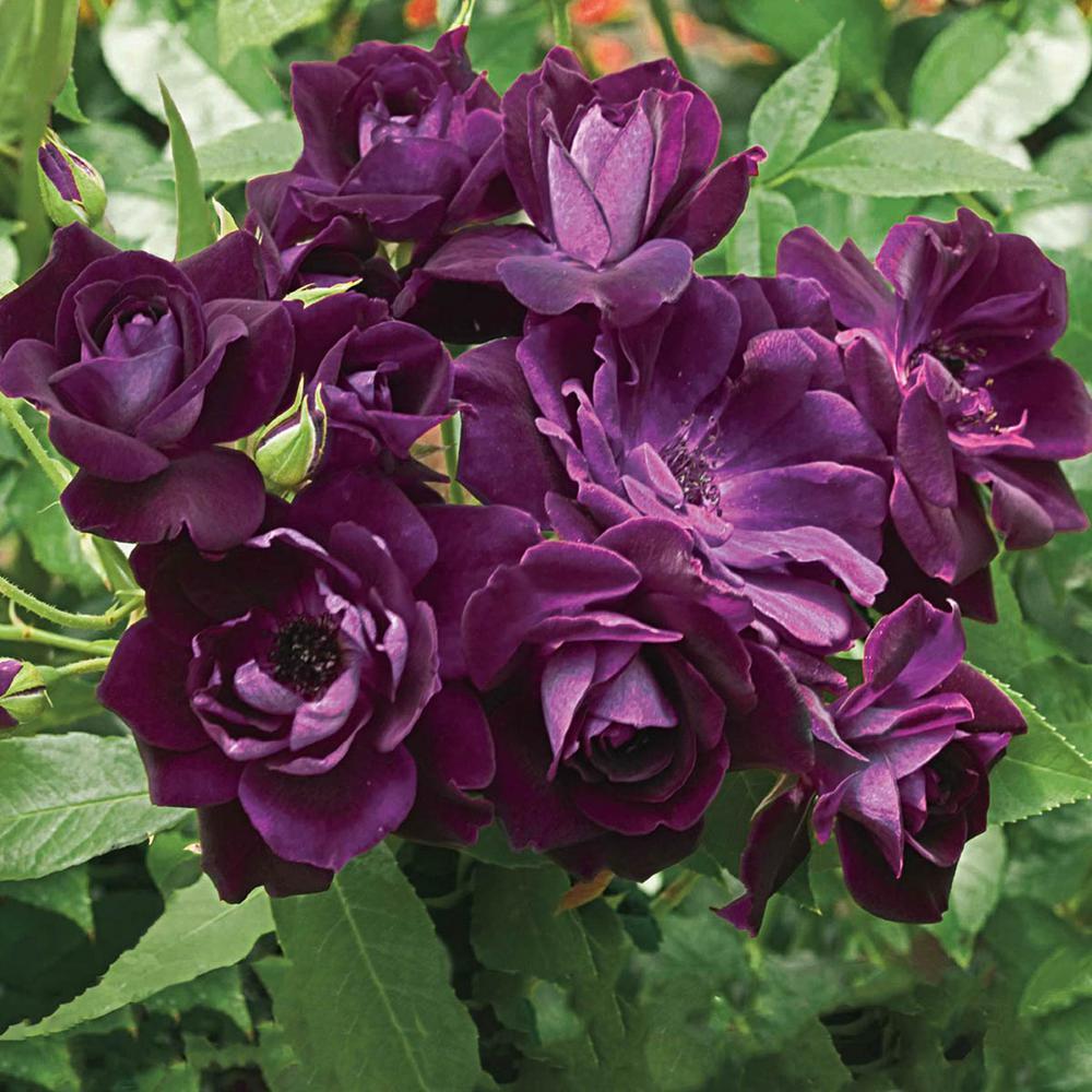 Burgundy Iceberg Floribunda Roses, Live Bareroot Plant, Burgundy Color Flowers (1-Pack)