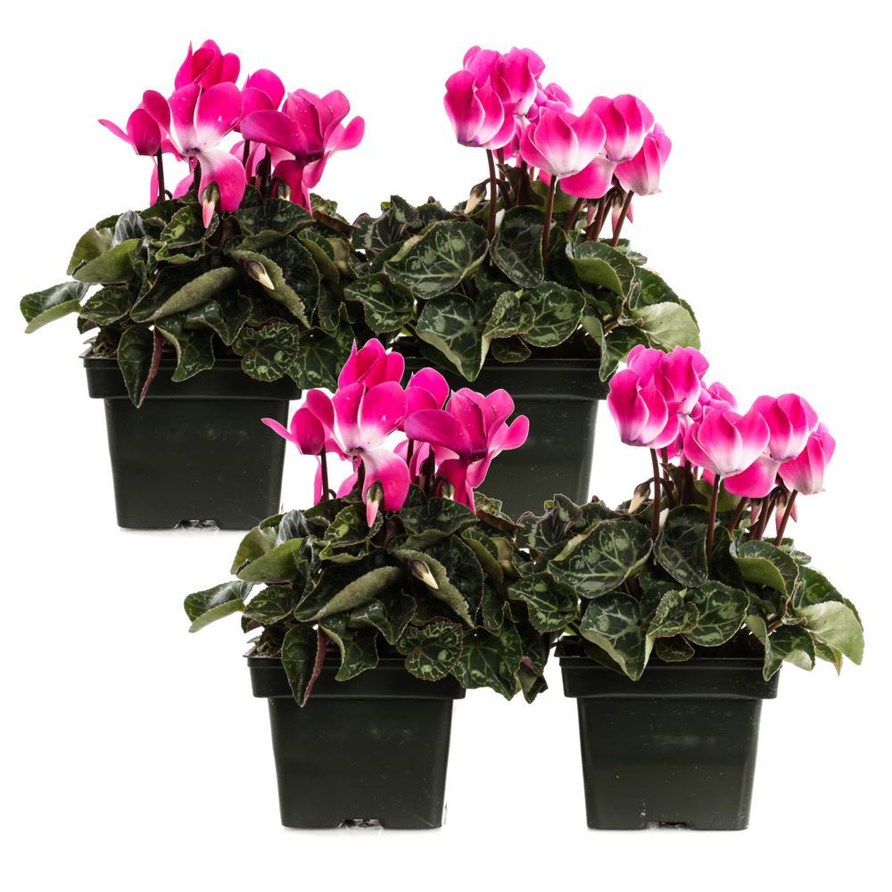1.21-Pint Rose Cyclamen Indiaka in 4 in. Pot (4-Pack)