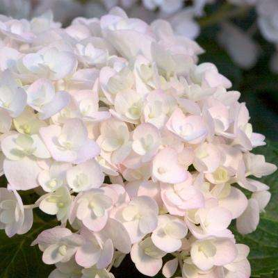 3 Gal. Blushing Bride Hydrangea(Macrophylla) Live Deciduous Shrub, White Blooms Blush to Blue or Pink