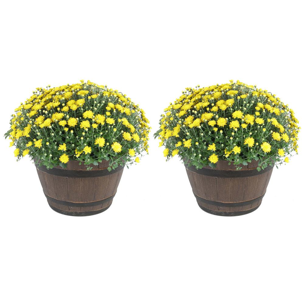 Costa Farms Costa Farms 3 Qt. Ready to Bloom, Yellow, Fall Mums, Chrysanthemum in Whiskey Barrell (2-Pack)