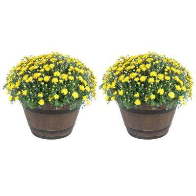 3 Qt. Ready to Bloom, Yellow, Fall Mums, Chrysanthemum in Whiskey Barrell (2-Pack)