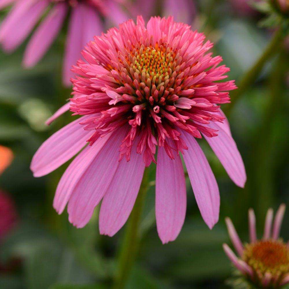 2.5 Qt. Double Scoop Bubble Gum Echinacea With Hot Pink Blooms,