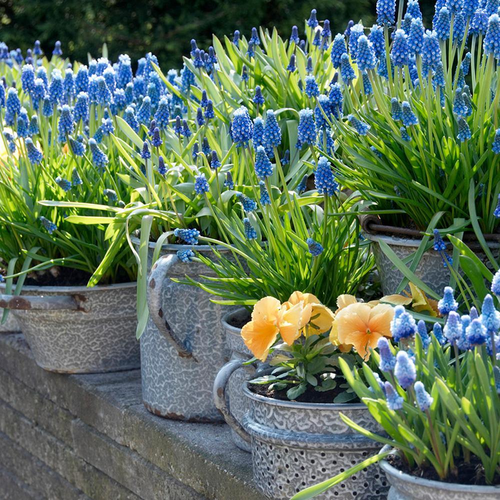 Blue Flower Bulbs Garden Plants Flowers The Home Depot