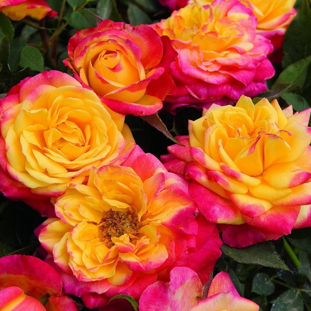 0.5 qt. Sunblaze Rainbow Multi-Colored Mini Rose (3-Piece)