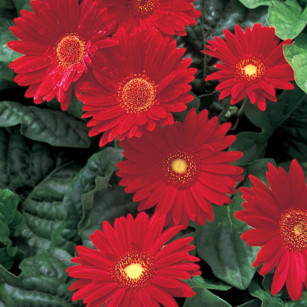 2.5 Qt. Red Transvaal Daisy Plant
