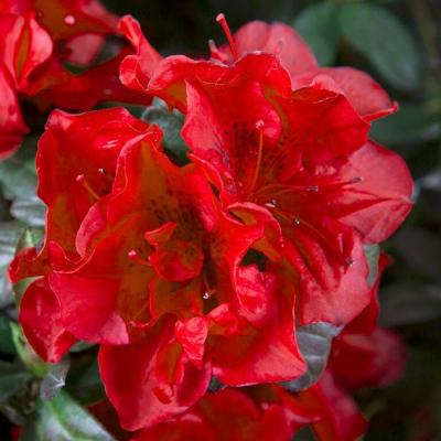 1 Gal. Autumn Fire Shrub with True Red Reblooming Flowers