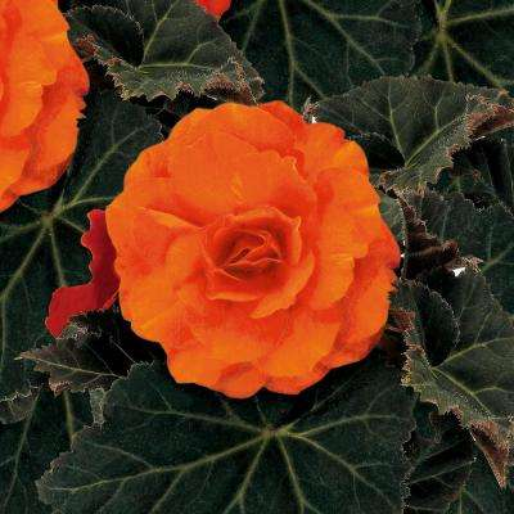 Nonstop Mocca Deep Orange (Tuberous Begonia) Live Plant, Orange Flowers, 4.25 in. Grande, 4-pack