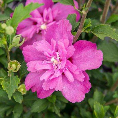 Raspberry Smoothie Rose of Sharon (Althea), Live Bareroot Plant, Hot Pink Flowering Shrub (1-Pack)