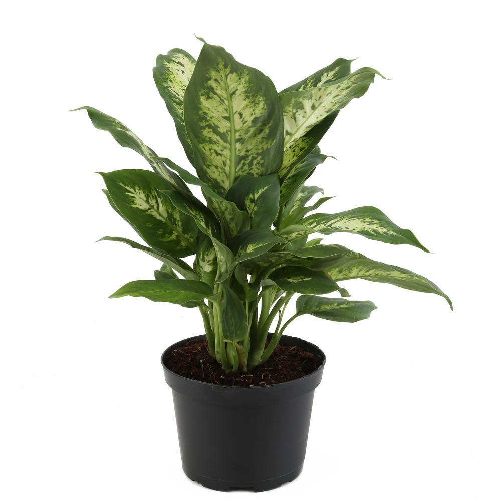 Dieffenbachia in 6 in. Grower Pot