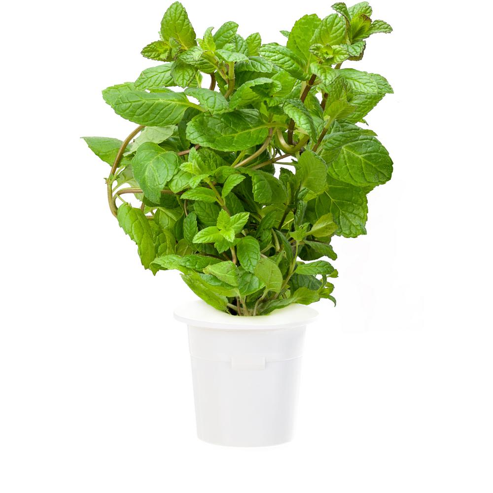 Click And Grow Peppermint Plant Refill 3 Pack For Smart Herb Garden