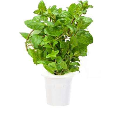 Peppermint Plant Refill (3-Pack) for Smart Herb Garden