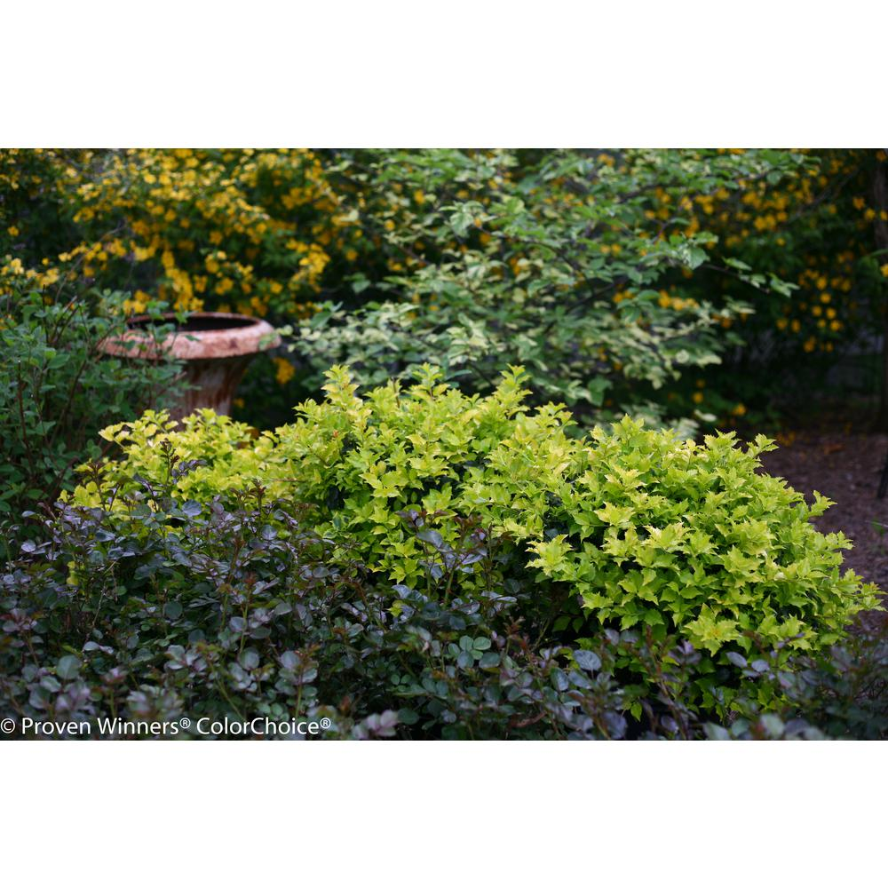 Proven winners castle gold blue holly ilex live evergreen shrub this review is fromcastle gold blue holly ilex live evergreen shrub white flowers to red berries 1 gal mightylinksfo Gallery