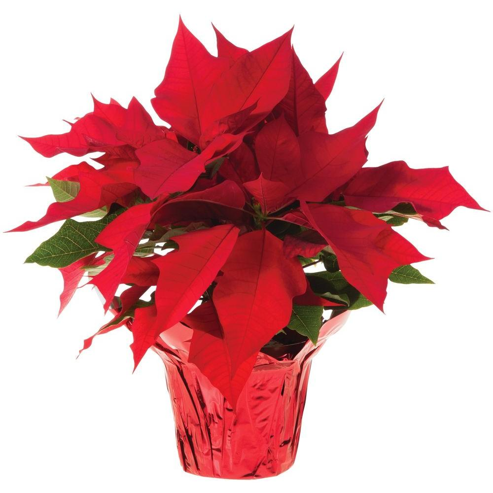 6 5 In Live Poinsettia In Store Only 10026 The Home Depot
