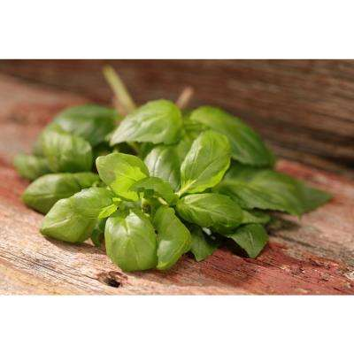 4.25 in. Grande Proven Selections Dolce Fresca Basil, Live Plant, Herb (Pack of 4)