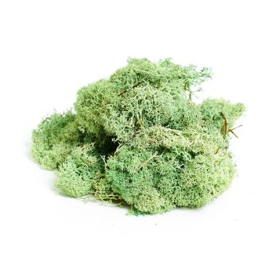 Shop Succulents Reindeer Moss, Mint