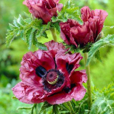 Plum Poppies Patty's Plum Roots (3-Pack)