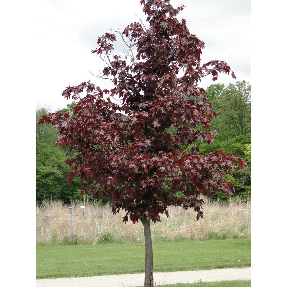 Crimson King Maple Tree Bare Root