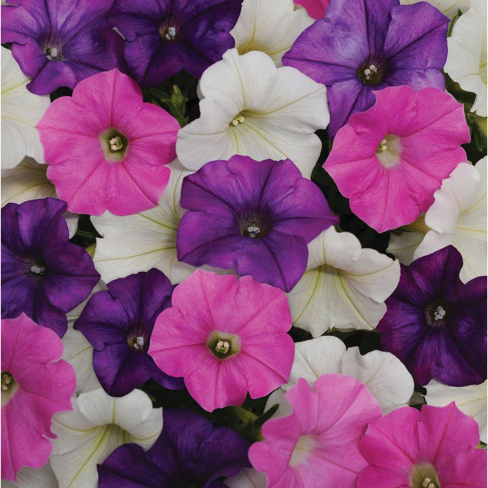 Wave 6 in. Purple and Pink Shock Wave Petunia Mix-DISCONTINUED