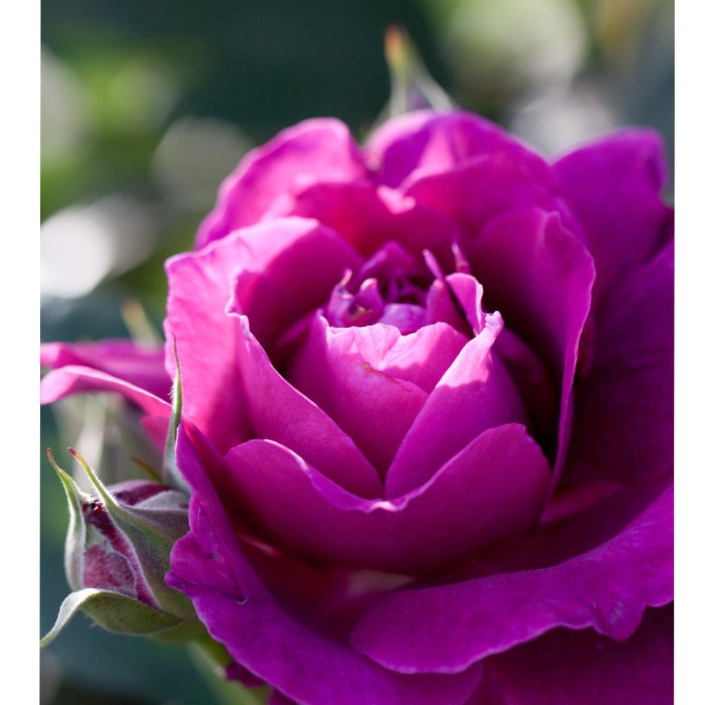 Fragrant Purple Intrigue Floribunda Rose Plant