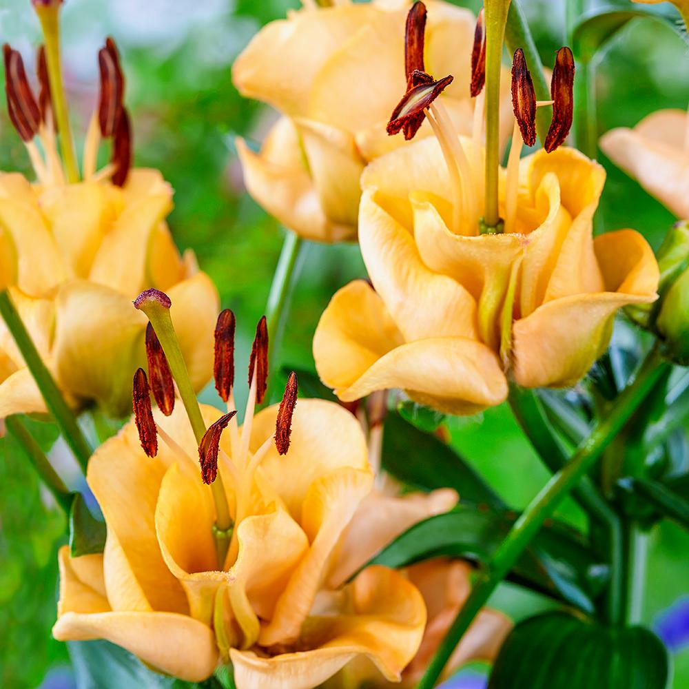 Breck's Double Asiatic Lily Apricot Fudge Bulbs (5-Pack)