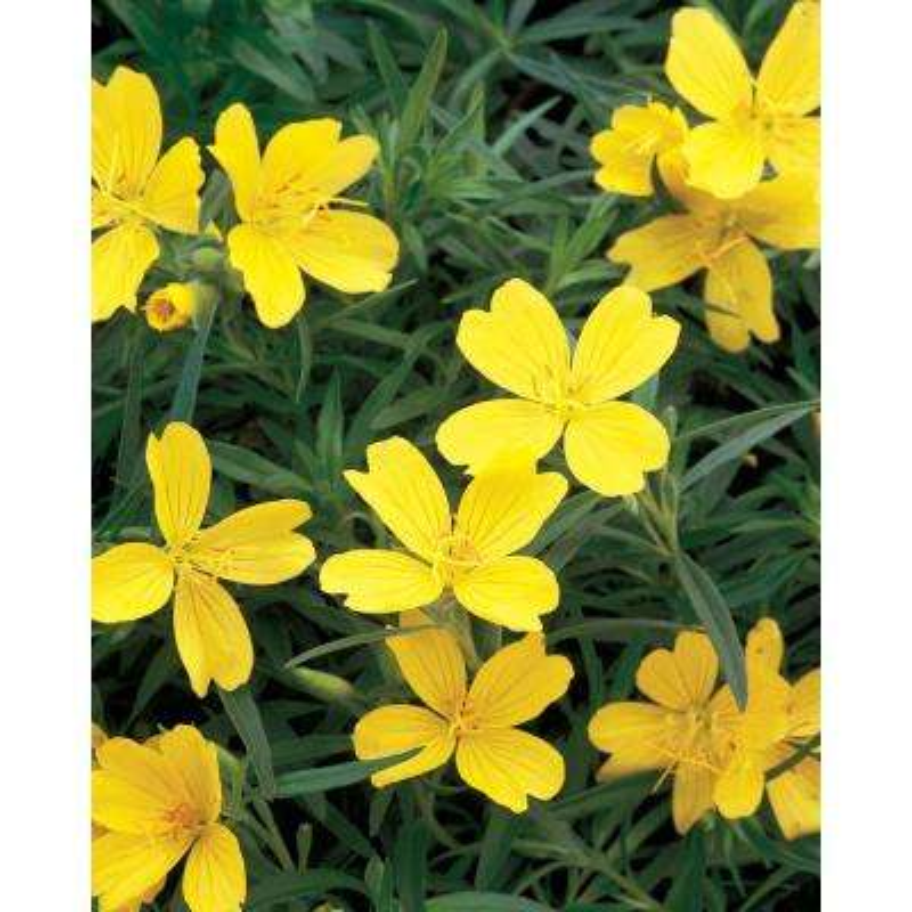 Lemon Drop Primrose (Oenothera) Live Plant, Yellow Flowers, 0.65 Gal.