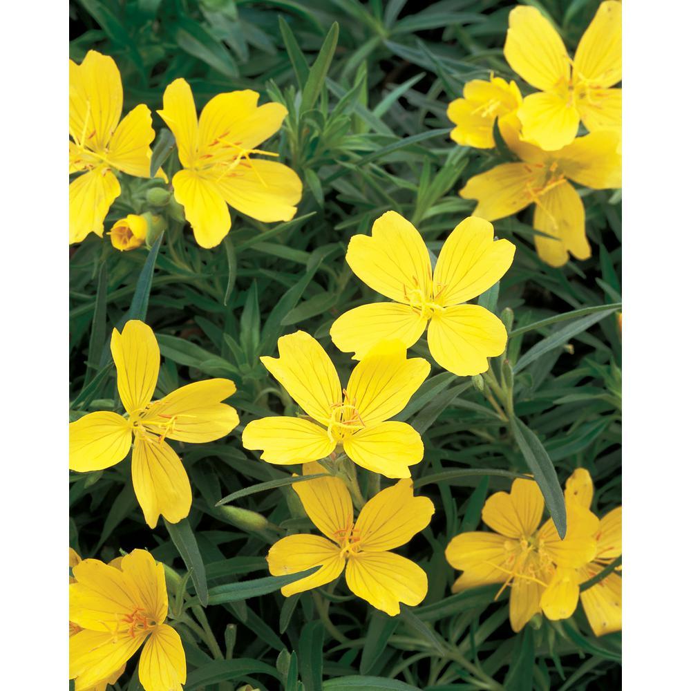 4.5 in. Qt. Lemon Drop Primrose (Oenothera) Yellow Flowers Live Plant