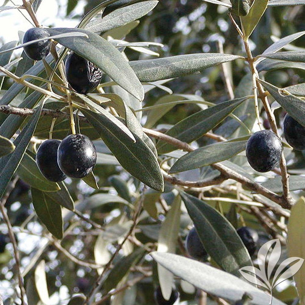 Arbequina Olive Tree Oliarbbp The Home Depot