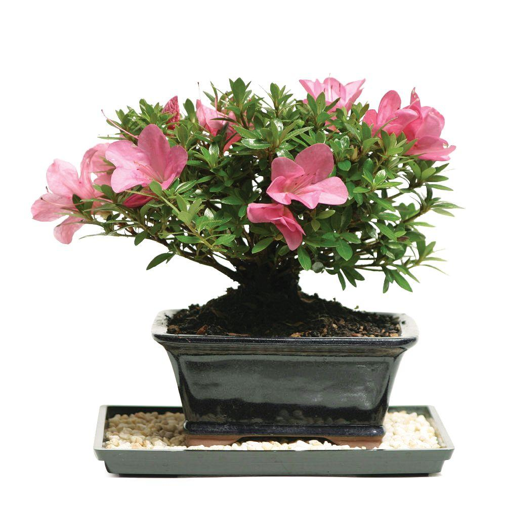 BRUSSEL'S BONSAI Satsuki Azalea (Outdoor)