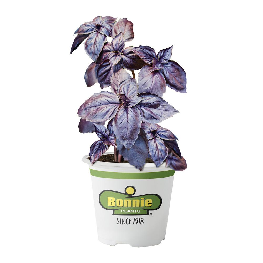Bonnie Plants 4.5 in. Purple Basil Deep purple leaves, stems and flowers. Traditional basil-anise flavor. Makes a nice addition to beds for a pop of color. Grow in fertile soil that drains well. Pinch off flowers to keep leaves forming. Good choice for containers.