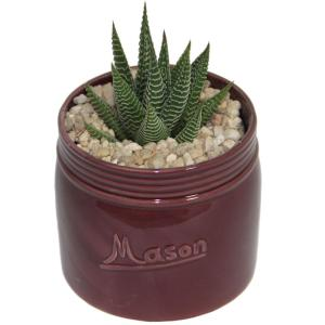 Costa Farms Haworthia Succulent in 4.5 inch Mason Jar Mahogany by Costa Farms