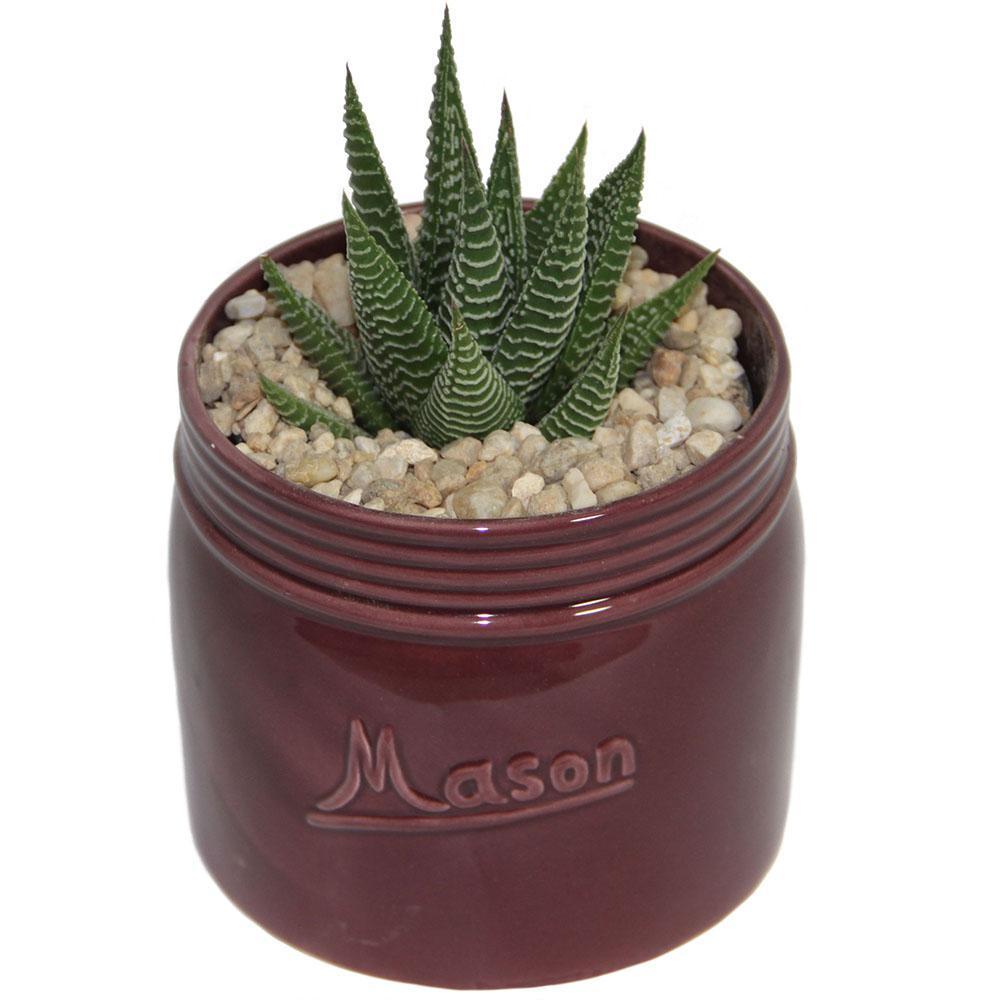 Haworthia Succulent in 4.5 in. Mason Jar Mahogany
