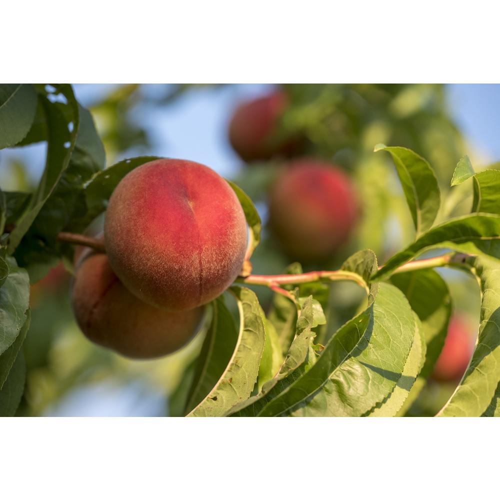 Online Orchards White Gold Peach Tree Bare Root