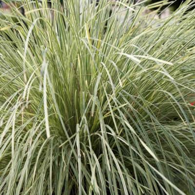 2.5 Qt. Platinum Beauty Lomandra, Live Evergreen Grass, Green and White Striped Foliage