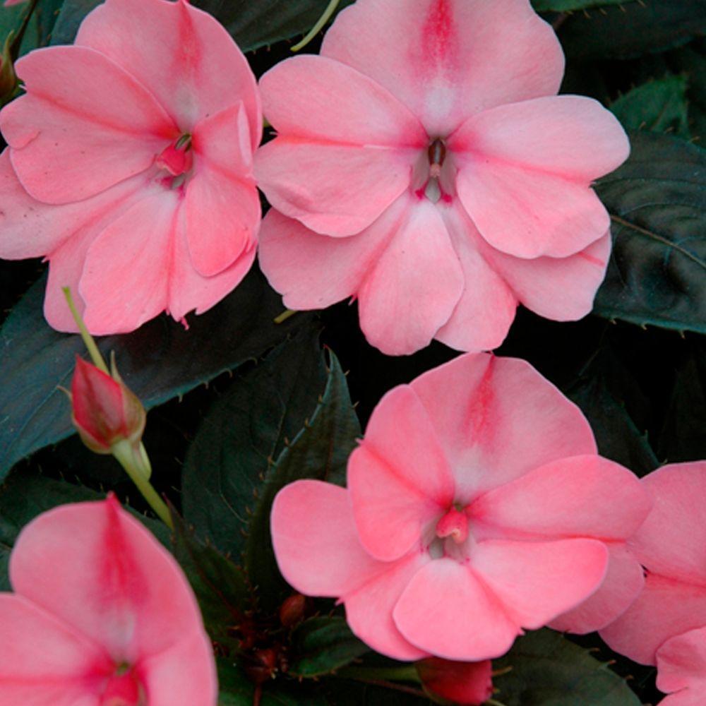 SunPatiens Compact Blush Pink (Impatiens) Live Plant, Pink Flowers, 4.25 in. Grande, 4-pack