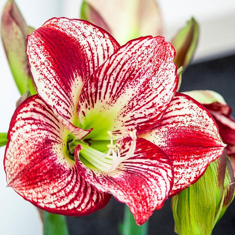 Flamenco Queen Amaryllis (Hippeastrum) Bulb (1-Pack)