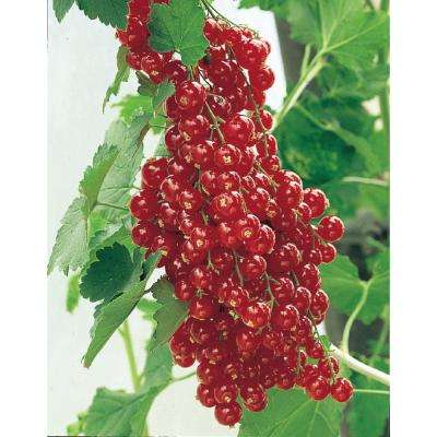 4 in. Pot Red Lake Currant (Ribes) Live Fruiting Plant White Flowers with Green Foliage (1-Pack)