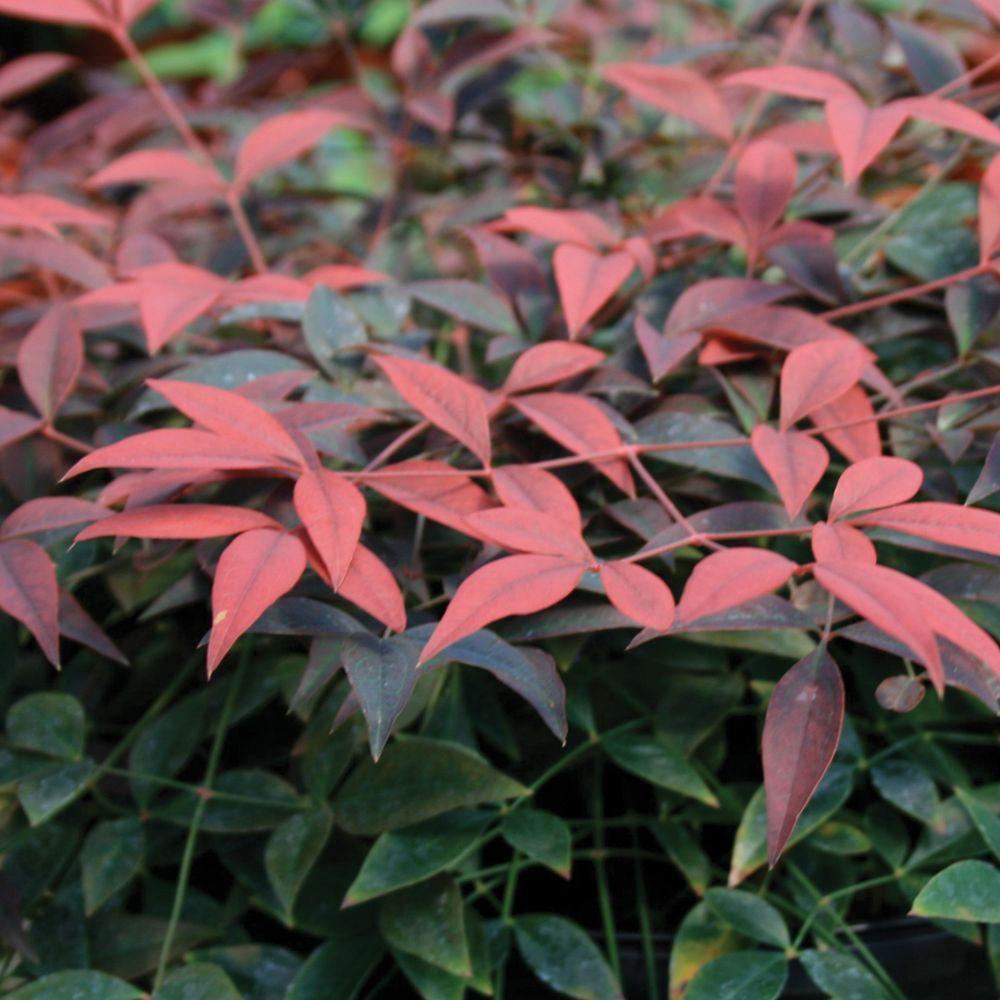 2.5 Qt. Flirt Nandina, Live Evergreen Groundcover Shrub, Deep Red New Foliage