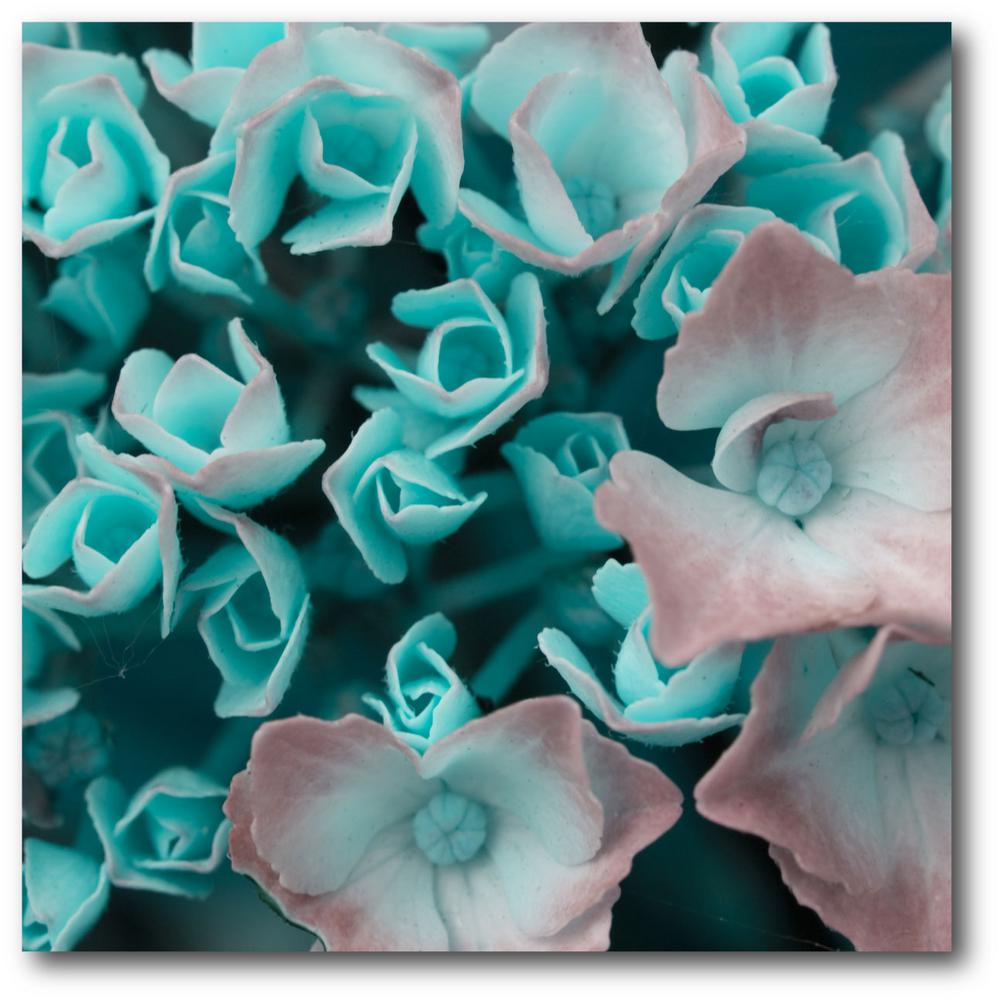 Aqua Pink Hydrangeas  Canvas Wall Art & 16 in. x 16 in.